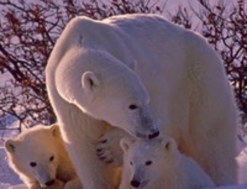 Eisbär Knut – so einsam wie viele Stars – plötzlich gestorben
