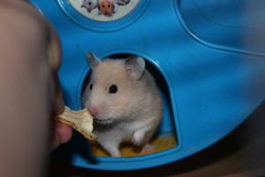 Hamster Ruby ab zu geben