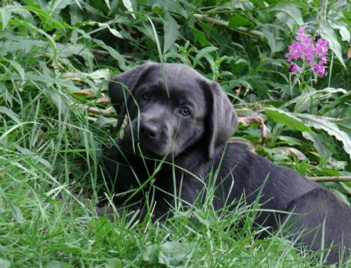 Labrador fürs Leben, neue Runde