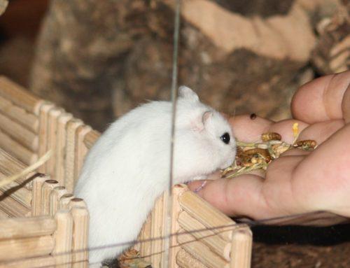 Sind Hamster gute Haustiere?